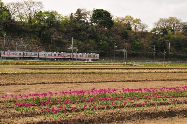 2011.4.16 佐倉チューリップ祭り 076