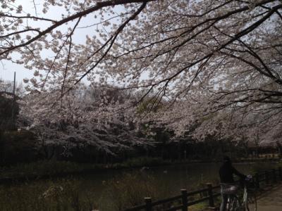 0410桜1