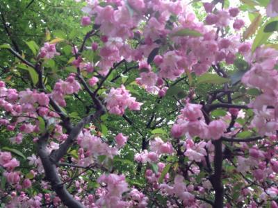 0416桜