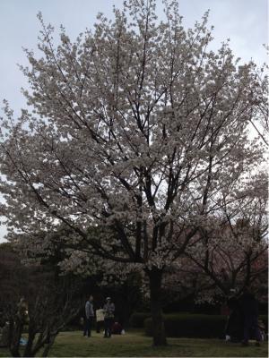 0416桜1