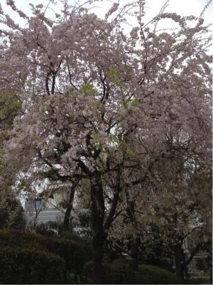 0416桜2