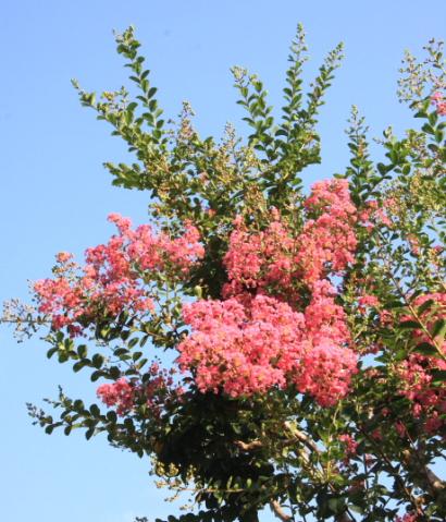 サルスベリの花-2