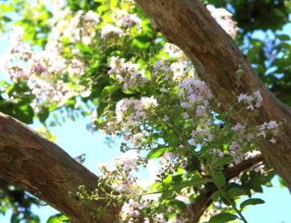 サルスベリの花-4