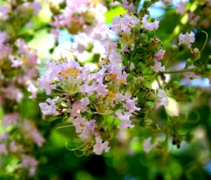 サルスベリの花-5