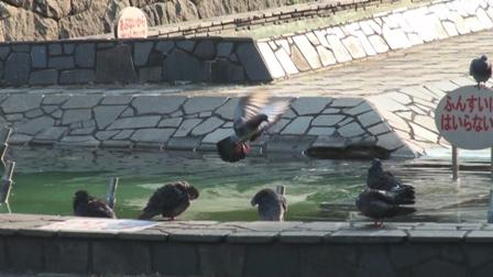 ハトの行水