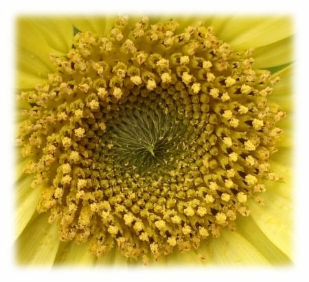 ミニヒマワリ(一年草)夏らしい季節の花