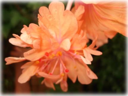 オレンジ フラミンゴ
