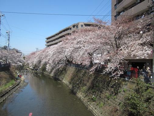 12-hanami1.jpg