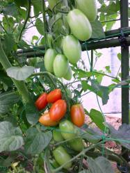 20110723アイコトマト