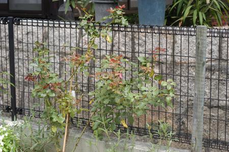 roses2009810-3.jpg