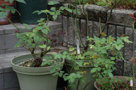 roses2009810.jpg