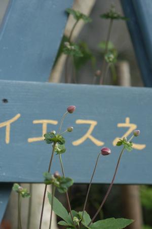 shumeigiku2009820.jpg