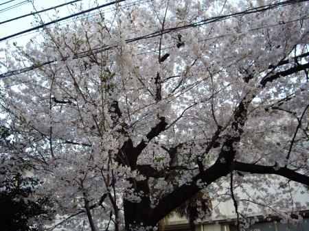 桜20120408