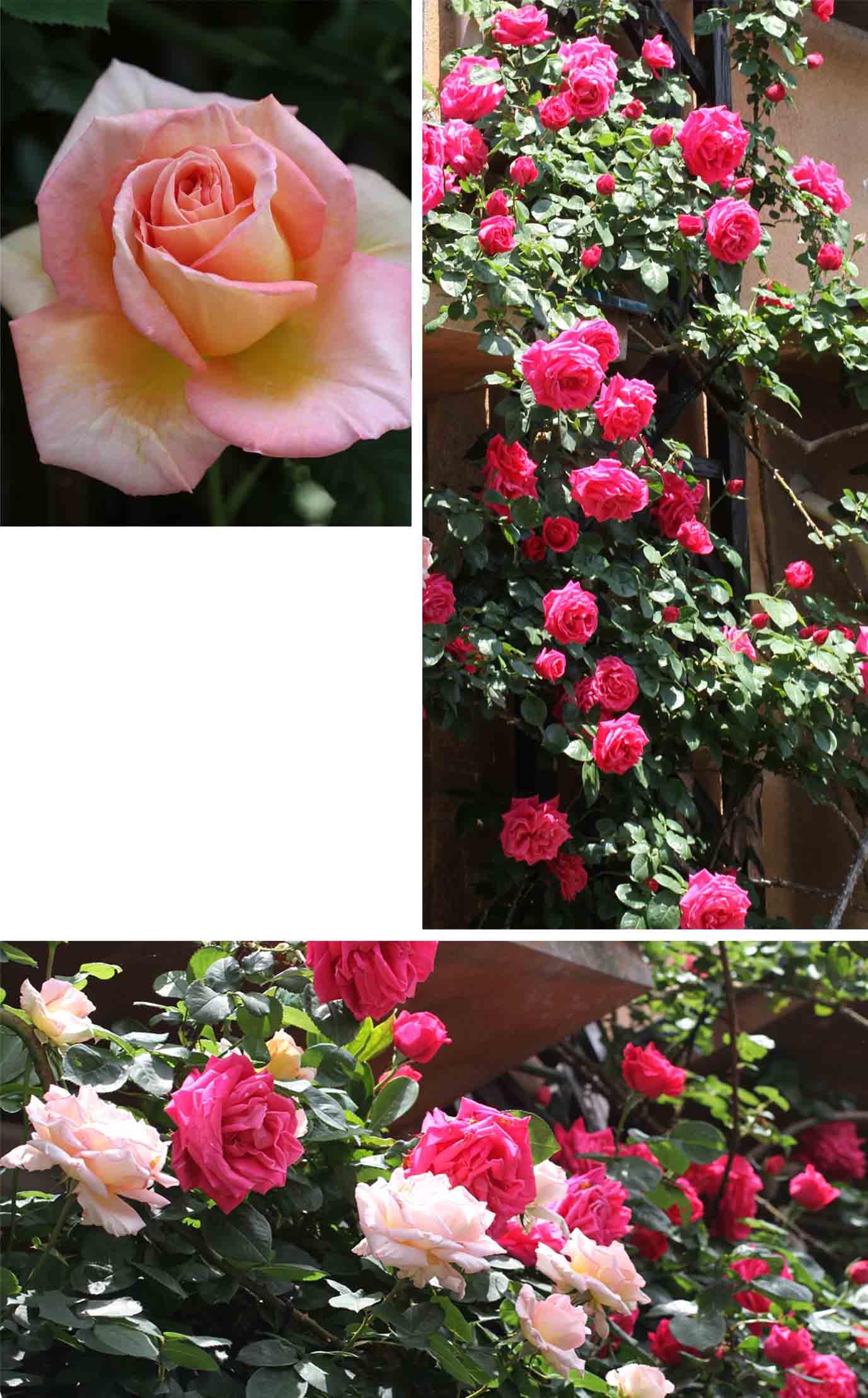 5月のバラ(20110509)