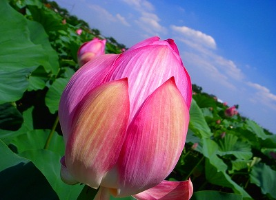 2011-07-14 伊佐沼のハス 031