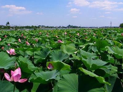 2011-07-14 伊佐沼のハス 035