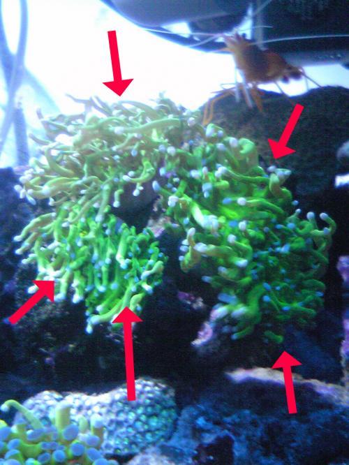 ハナサンゴ復活と増殖