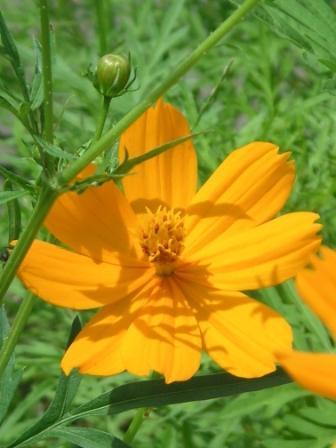 黄花コスモスkibana