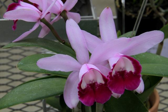 "C.intermedia fma orlata ""Sendai"""