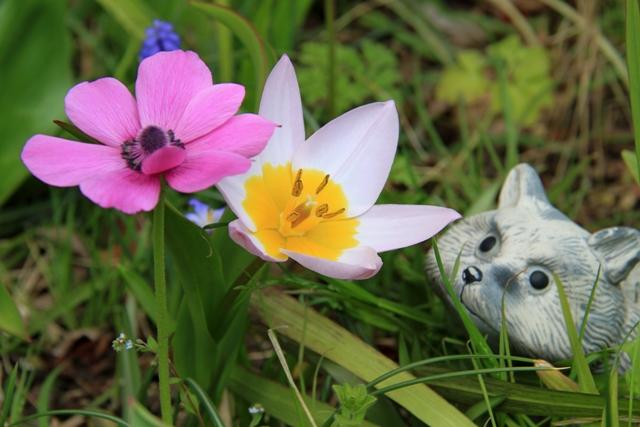 咲き出した花の香りを嗅ぐタヌキ