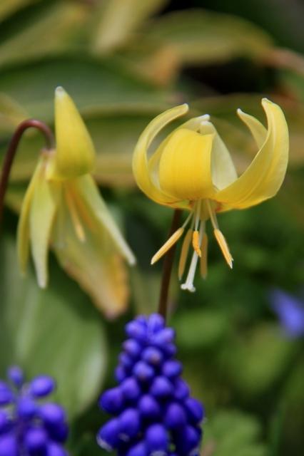 黄花かたくりとムスカリ