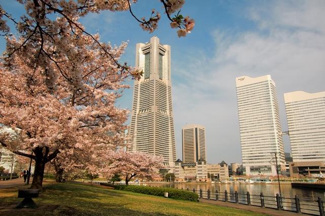 桜満開 春爛慢
