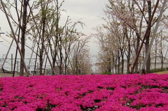 桜と芝桜のコラボレーション