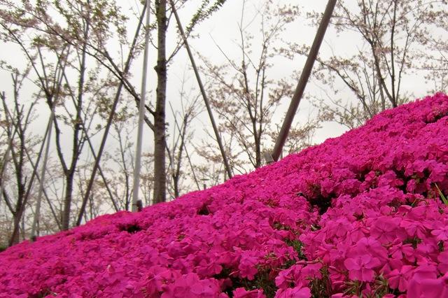 斜面の芝桜