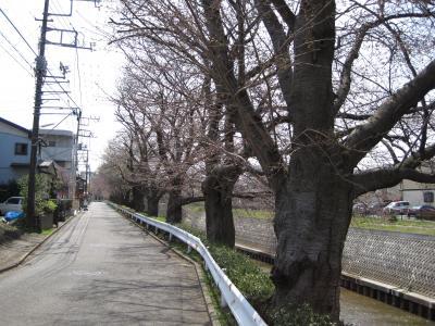 さくら並木