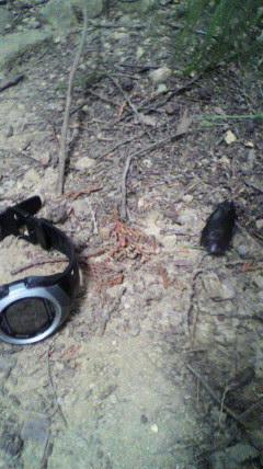 オオゴキブリ比較