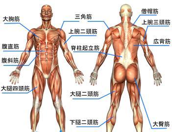 筋肉 Figure