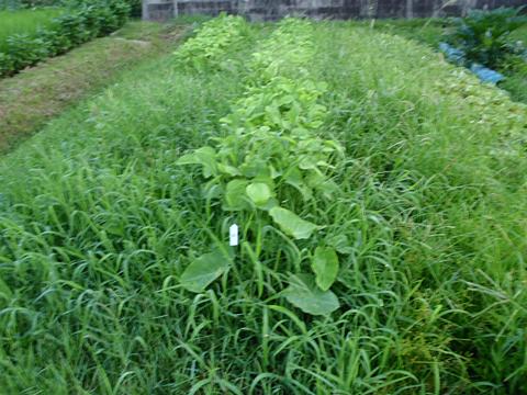 除草を待つ黒豆たち…