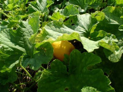 黄色いマクワウリ