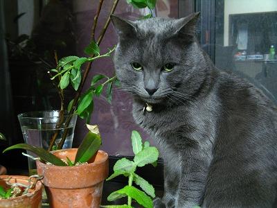 猫草は猫柳