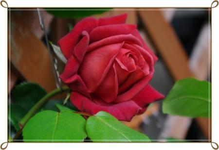 f-rose1 011