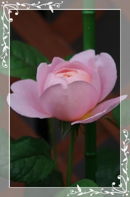 f-rose509 029