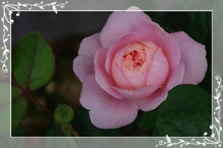 f-rose509 028