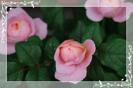 f-rose509 031