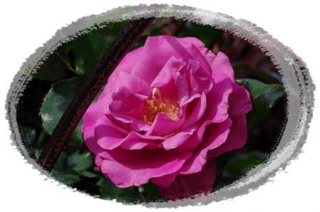 f-rose510 017