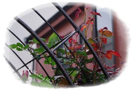 f-rose508 021