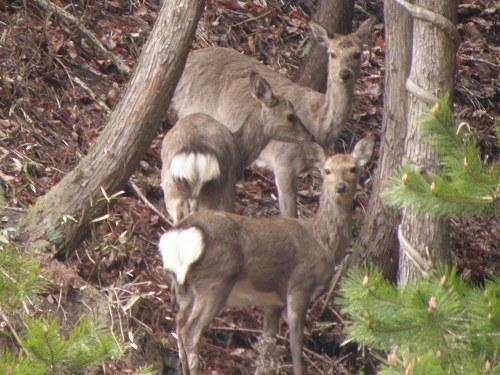 あらら 鹿は2頭だと思ったら3頭もいるじゃないの