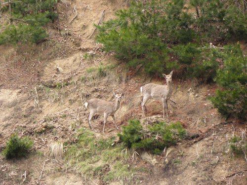 鹿がこちらを見ている