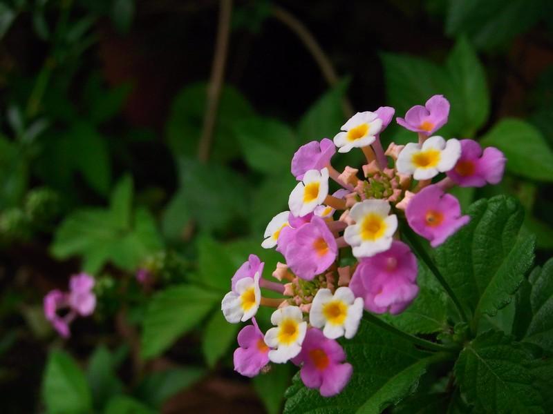 なんだか良く見る可愛い花。