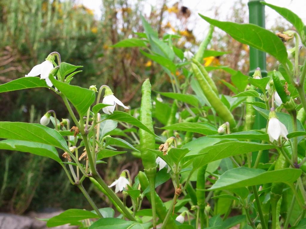 唐辛子とその花。