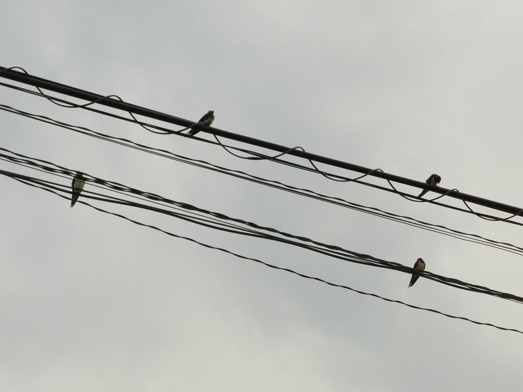 電線で休むツバメ。