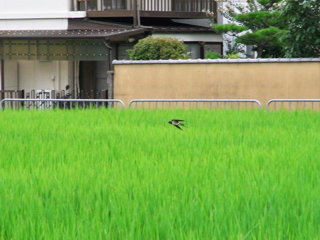 田んぼを飛び回る。