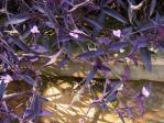 キガリでたくさん咲いていました