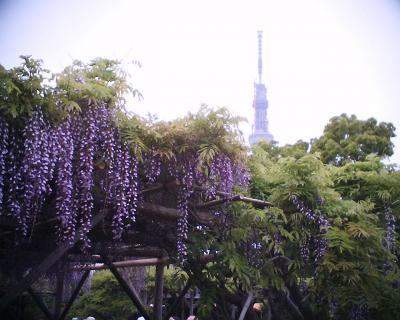 藤の花と東京スカイツリー:R2