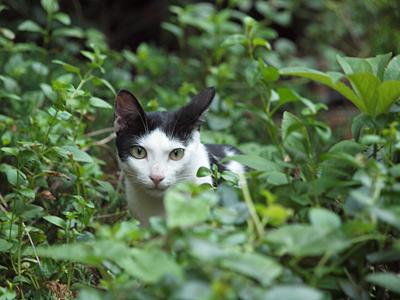 白黒母ネコ