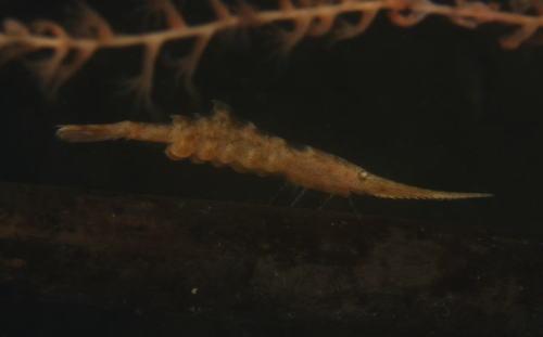 トガリモエビのメス